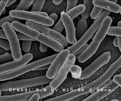 legionellabacterie